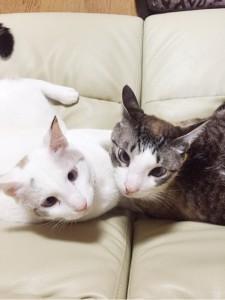 白ネコたち
