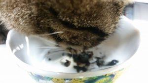 キングアガリクス100を食べる猫