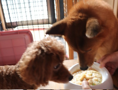 柴犬とプードル