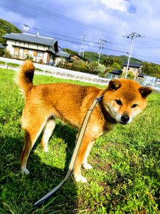 犬 柴ミックス