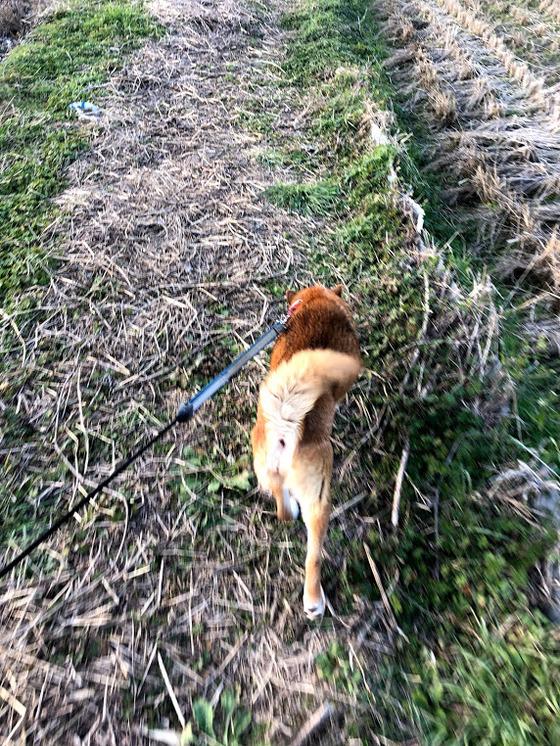 柴MIX犬