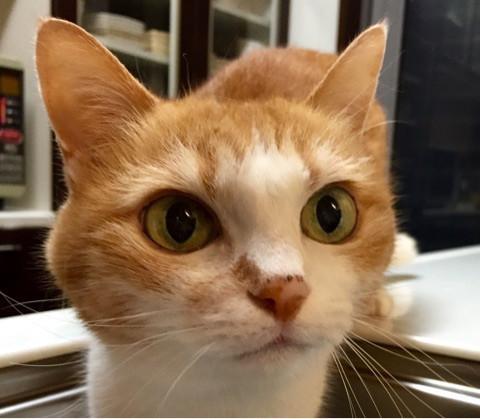 猫 キングアガリクス