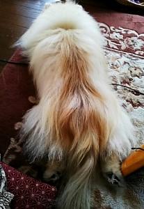 ポメラニアンの毛並みがふわふわ